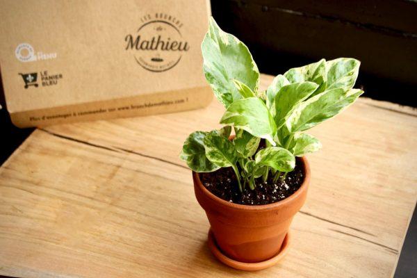 Bébé-plante à offrir: le Pothos